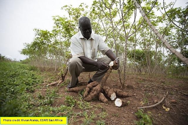 Dr.Anton Bua demonstrates the different types of cassava infected plants in Uganda. Dr. Bua is the  team leader in Cassava Research at the National Crops Resources Research Institute (NACRRI). Namulonge. 2009-09-02